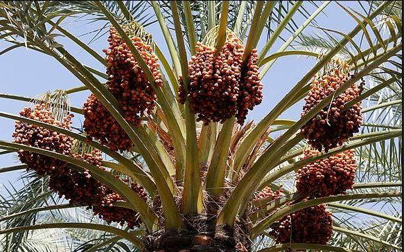 صادرات خرمای خوزستان توسط خوشه کسب و کار به 11 کشور