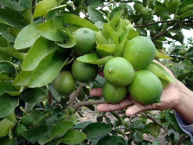 جاروک جادوگر عامل اصلی گرانی لیمو ترش