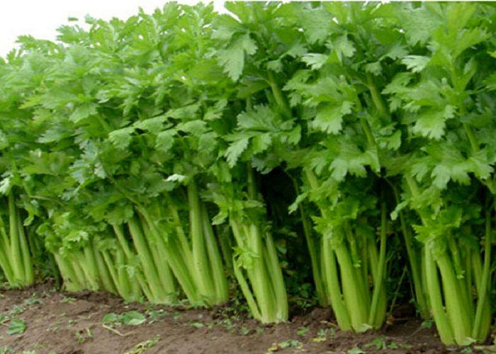 برداشت انواع سبزی برگی در شهرستان بندر لنگه