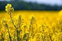 افزایش ۳۶ درصدی کشت کلزا در زمین های کشاورزی گلوگاه