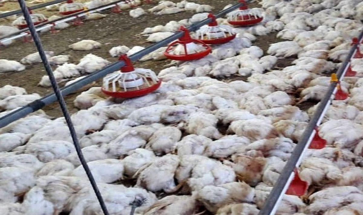 مشکل بازار مرغ ناشی از ضعف تخصیص نهاده از بازرگاه و گرانی حمل