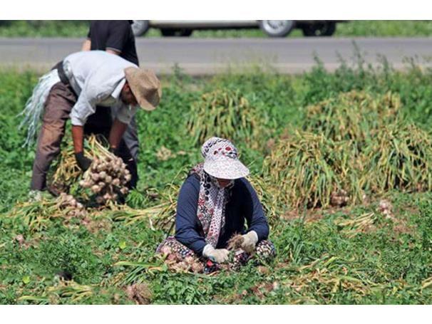 یک هزار و 700 تن سیر در زمین های کشاورزی میاندورود تولید شد