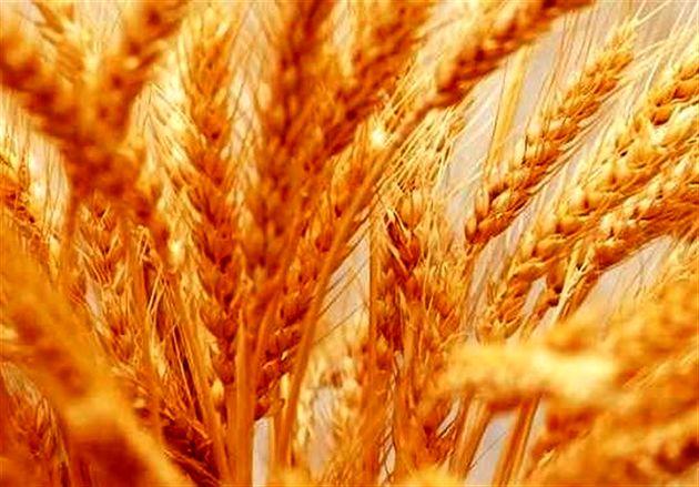 پول محصول گندم کشاورزان شهرستان گالیکش پرداخت نشده است