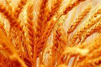 کاهش تولید گندم در بروجرد