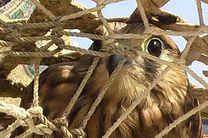 دستگیری شکارچی متخلف در سیریک