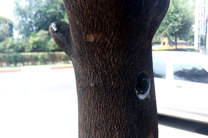 درختان سطح شهر سنندج پلاککوبی میشوند