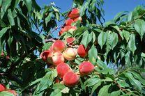 پیش بینی تولید 15 هزار تن هلو در نوشهر