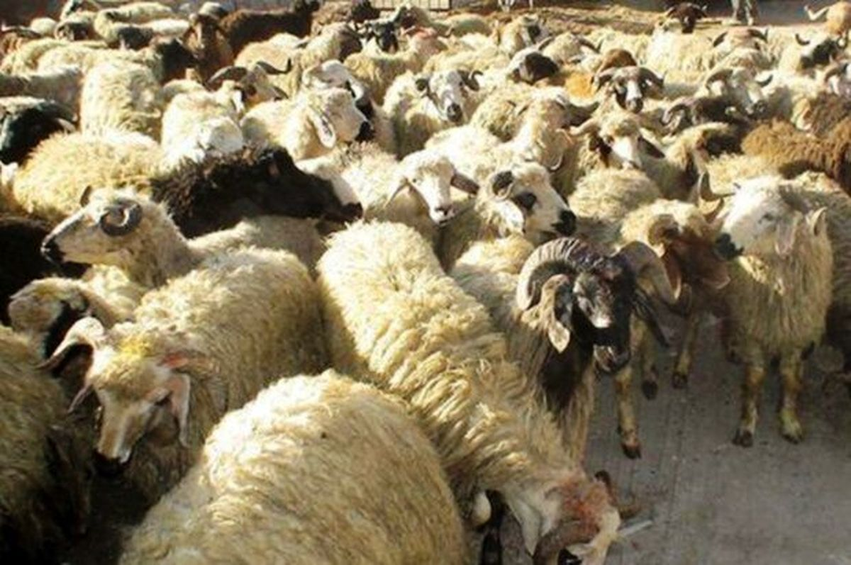 توقیف بیش از ۶۰۰ راس احشام قاچاق در پایش نوارهای مرزی کردستان