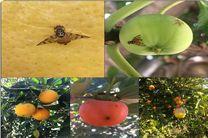 کنترل آفت مگس میوه مدیترانه ای در باغ های آلوده در اصفهان