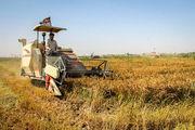 برداشت برنج از ۹۳ درصد از شالیزارهای استان انجام شد