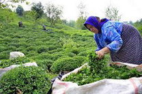 برداشت برگ سبز چای در رامسر آغاز می شود