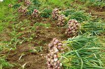 برداشت 12 تن سیر از هر هکتار مزارع در شهرستان خوروبیابانک