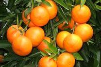 پیشبینی برداشت 600 هزار تن نارنگی در مازندران