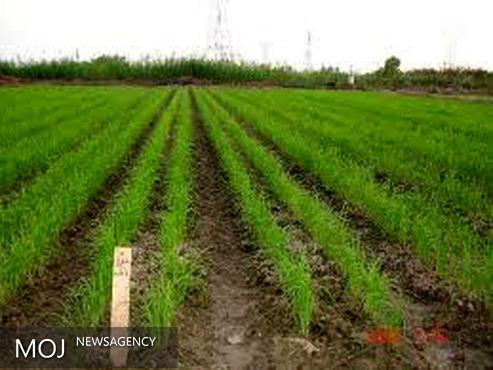 کشت برنج به روش خشکه کاری در شهرستان حمیدیه