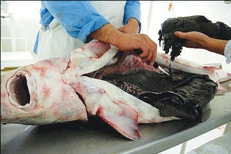 کشف 130 کیلوگرم گوشت خاویار قاچاق در رودسر