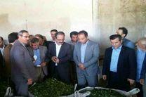 راه اندازی مجدد بزرگترین کارخانه چای دولتی پس از 15 سال