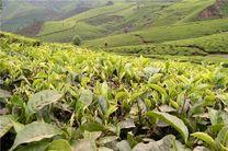 تسویه مطالبات چایکاران/بازگشت ذائقه مصرف کنندگان به چای ایرانی