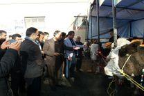 اولین جشنواره پرورش گاو سمینتال درشهرستان دیواندره برگزارشد