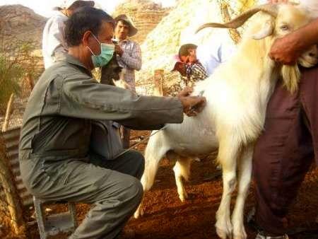 تمامی دام های سبک روستاهای زلزلهزده ثلاث باباجانی واکسیناسیون میشوند