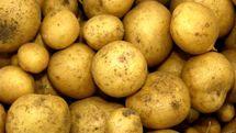 صادرات بدون عوارض سیب زمینی تا اطلاع ثانوی مجاز شد