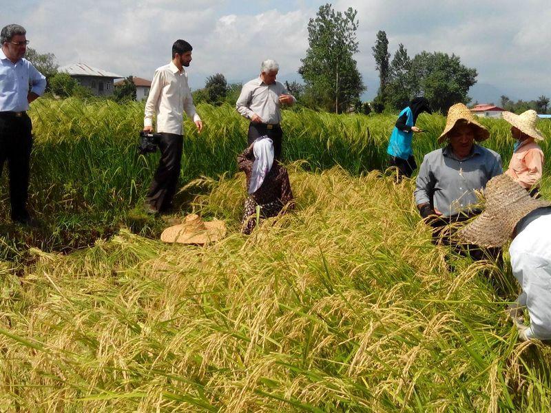 صرفه جویی سالانه ۹۷۰ میلیون مترمکعب آب/از سال دیگر برنج در خوزستان کشت نمی شود