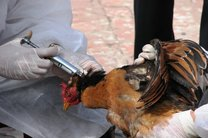 آنفولانزای حاد پرندگان آذربایجان غربی مشاهده نشد