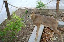 کشف یک میش وحشی زنده از یک متخلف شکار در شهرستان لنجان