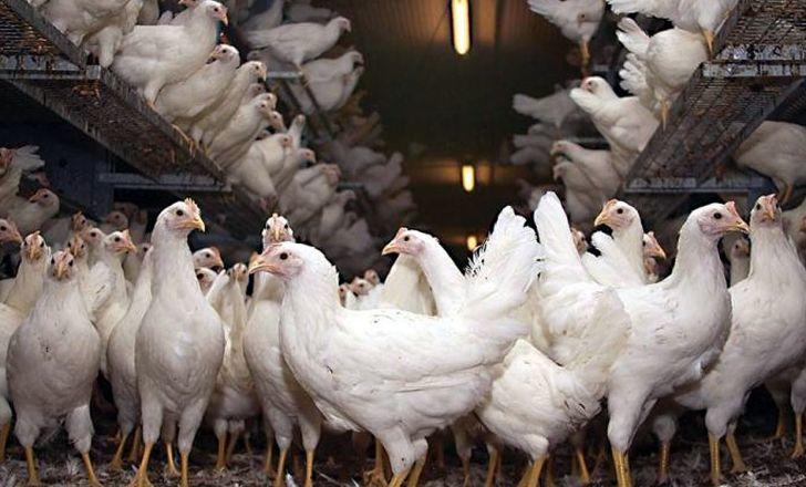 کشف  مرغ قاچاق به ارزش 520 میلیون ریال در فامنین