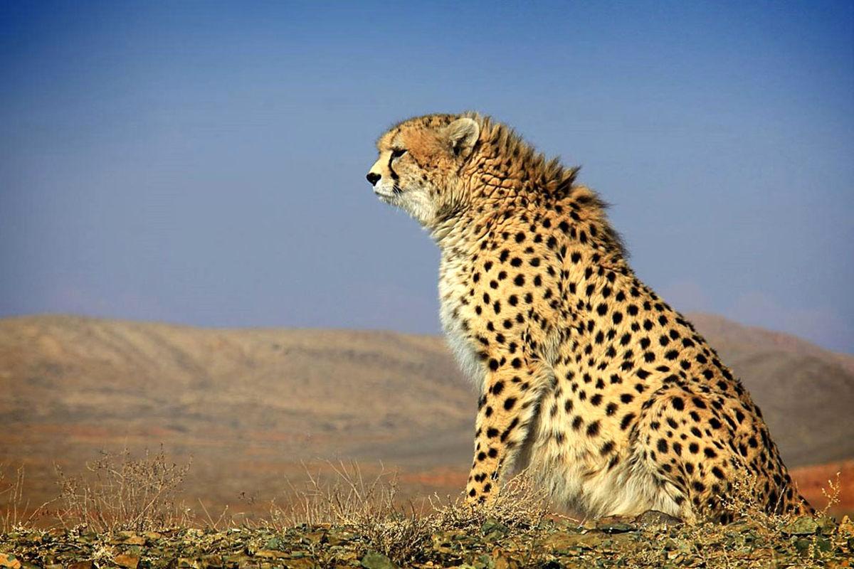 پناهگاه حیات وحش دره انجیر مستعدترین زیستگاه یوز استان یزد/ یک قلاده یوز  مشاهده شد