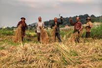 برداشت برنج در 95 درصد شالیزارهای آمل