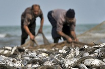 ممنوعیت صید برخی از آبزیان در آبهای هرمزگان