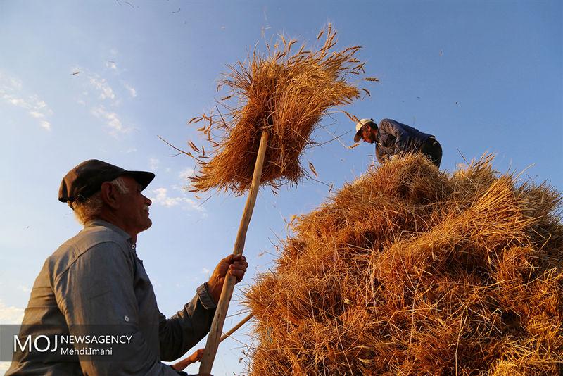 خرید تضمینی گندم از کشاورزان هرمزگان ادامه دارد/ تا کنون ۶ هزار و ۵۰۰ تن گندم خریداری شده است