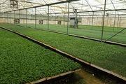 کاهش 30 درصدی کشت نشای گوجه فرنگی در شهرستان بستک
