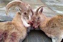 دستگیری یک متخلف شکار در منطقه حفاظت شده کرکس نطنز / کشف دو لاشه میش وحشی آبستن