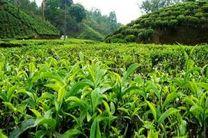 هیچ دستگاه دولتی چای داخلی نمی خرد