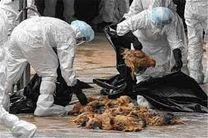 تایید ششمین کانون آنفلوآنزای فوق حاد پرندگان در کرمانشاه