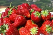 نخستین برداشت نوبرانه توت فرنگی در جویبار