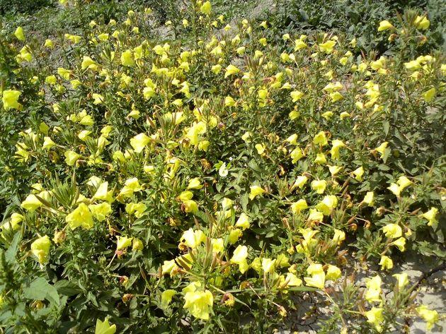 کشت گیاهان دارویی در مراتع تهران