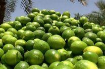 تولید 480 تن لیمو در بابل