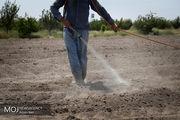 مزارع جاسک در امان از هجوم ملخهای صحرایی