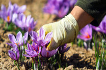 اصفهان چهارمین تولیدکننده بزرگ زعفران در کشور