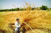 پیش بینی خرید 276 هزار تُن گندم از کشاورزان اصفهان