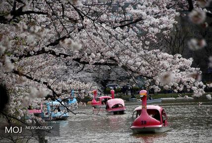 شکوفه های باغ گیلاس در ژاپن