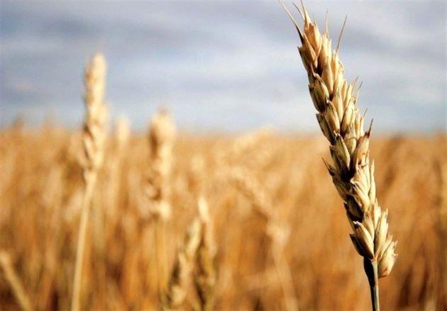 117 هزار تن گندم در بورس کالا به قیمت تضمینی عرضه می شود