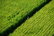 برنج و پارادوکس در شبه جزیره کره