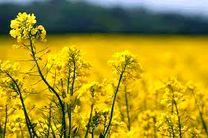 افزایش 40 درصدی برداشت دانه های کلزا در استان اصفهان
