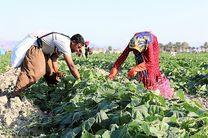 آغاز برداشت خیارسبز در میناب/پیش بینی تولید 45 هزار تن محصول