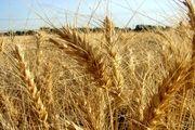 دولت گندم را به قیمت تمام شده نمی خرد