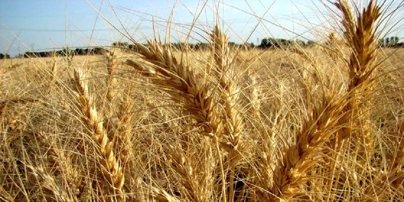 آمادگی کامل وزارت جهاد کشاورزی برای مبارزه با آفات و بیماری های گندم