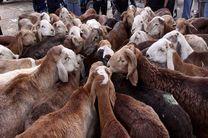 کشف ۲۶۰ راس گوسفند قاچاق در شهرستان قشم